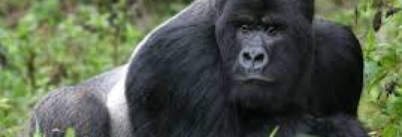 Timeless Africa Safaris 2021 Gorilla Safari — African Safari